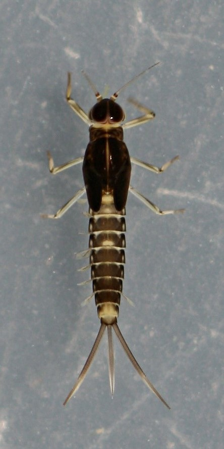 Fallceon thermophilos nymph. Mature male. 5.5 mm (excluding cerci). Collected July 15, 2014.