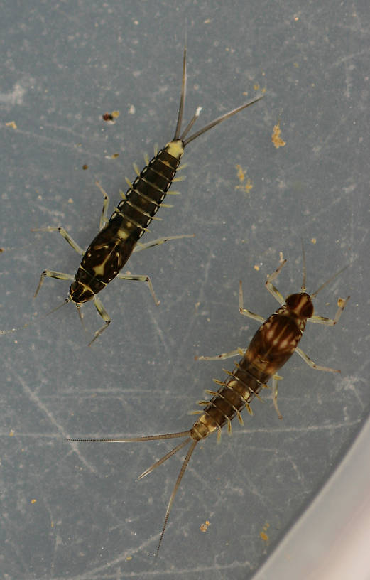 Female Fallceon thermophilos and male Fallceon sp.1 nymph. Collected April 21, 2014.