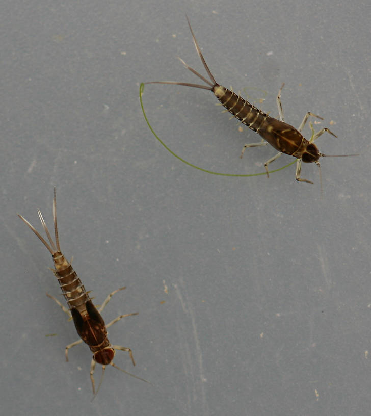 Fallceon sp.1. and Fallceon thermophilos male nymphs. Collected August 29, 2014.