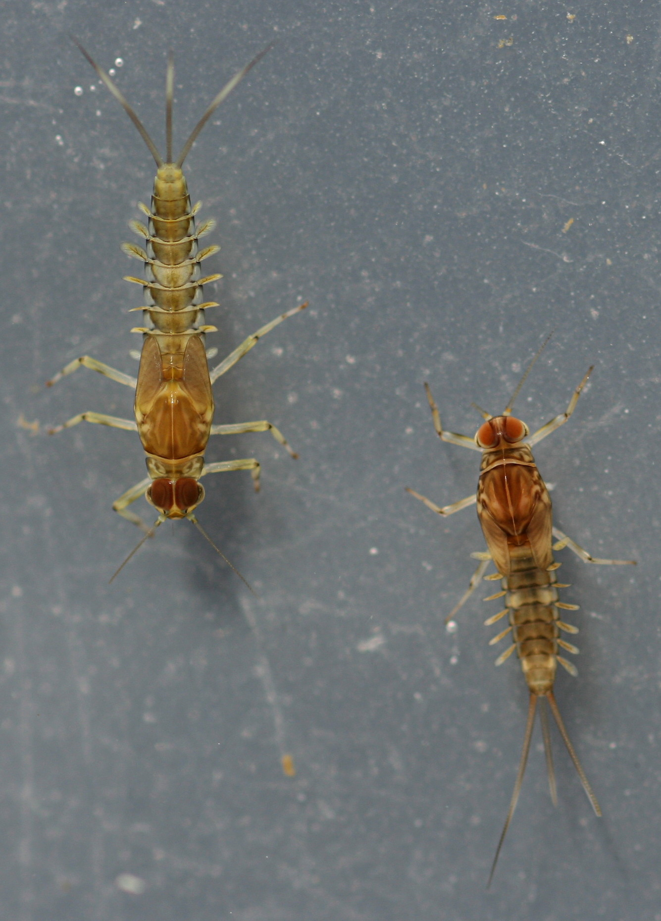 Fallceon sp.1. and Fallceon quilleri male nymphs. Collected November 1, 2014.