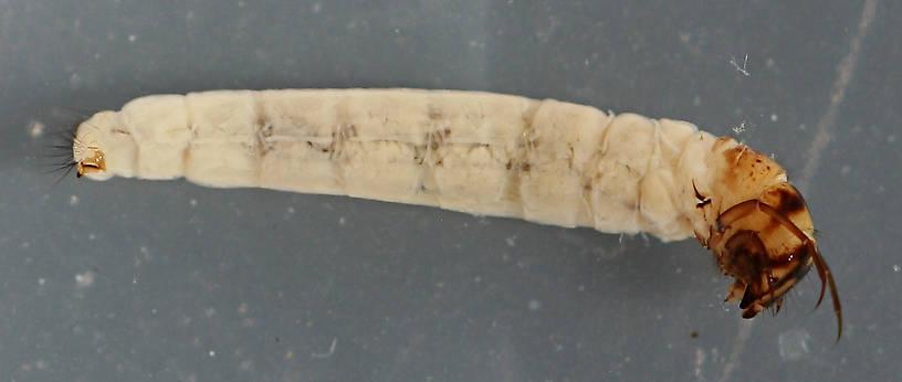 Larvae are 10 mm.