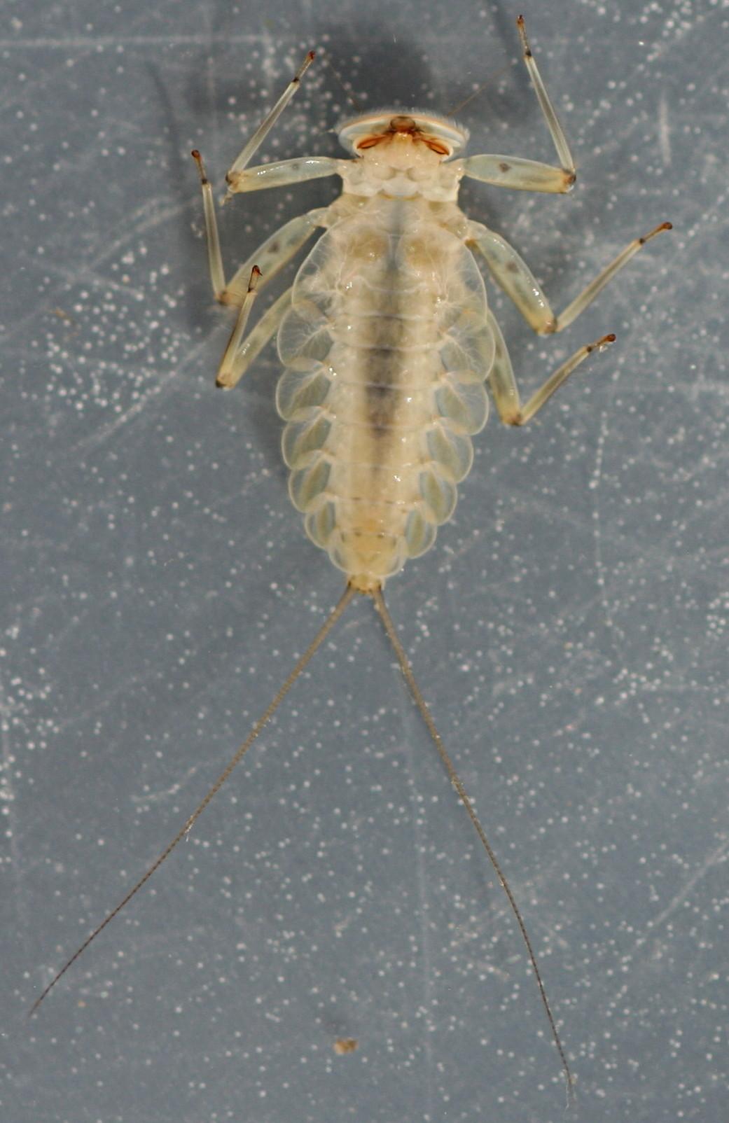 Epeorus longimanus. 10 mm excluding cerci.