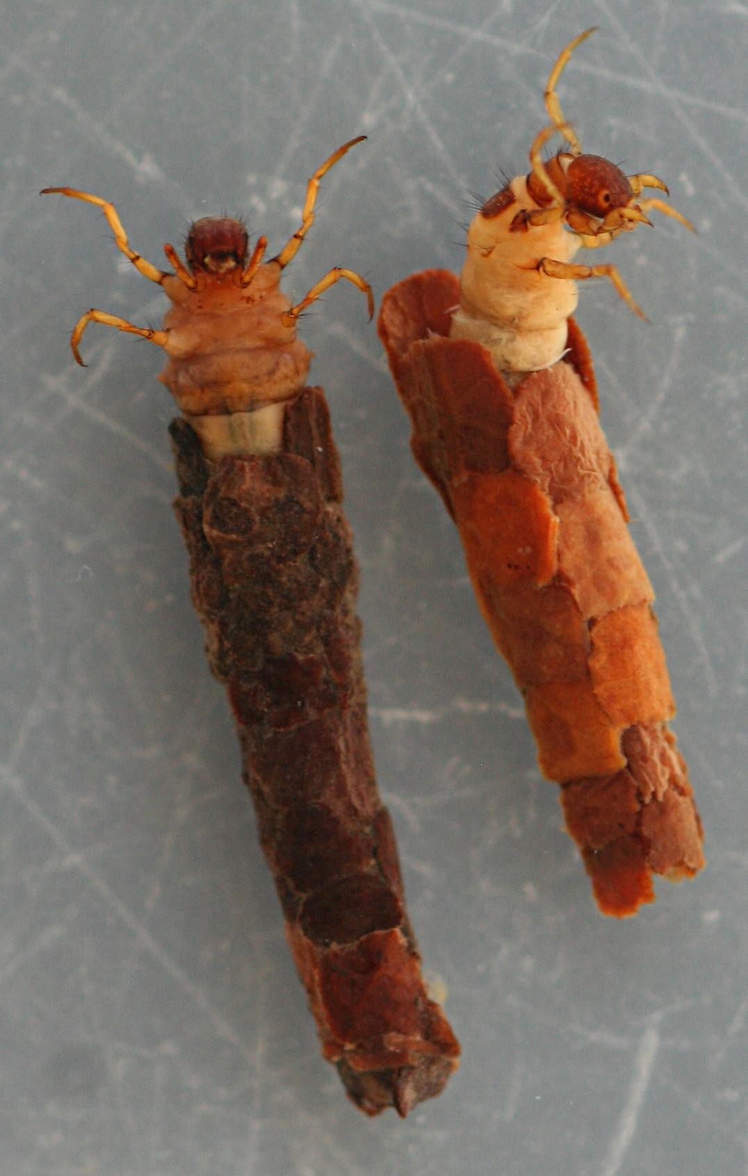 Late instars of panel case type. 11 mm larvae, 13 mm case.