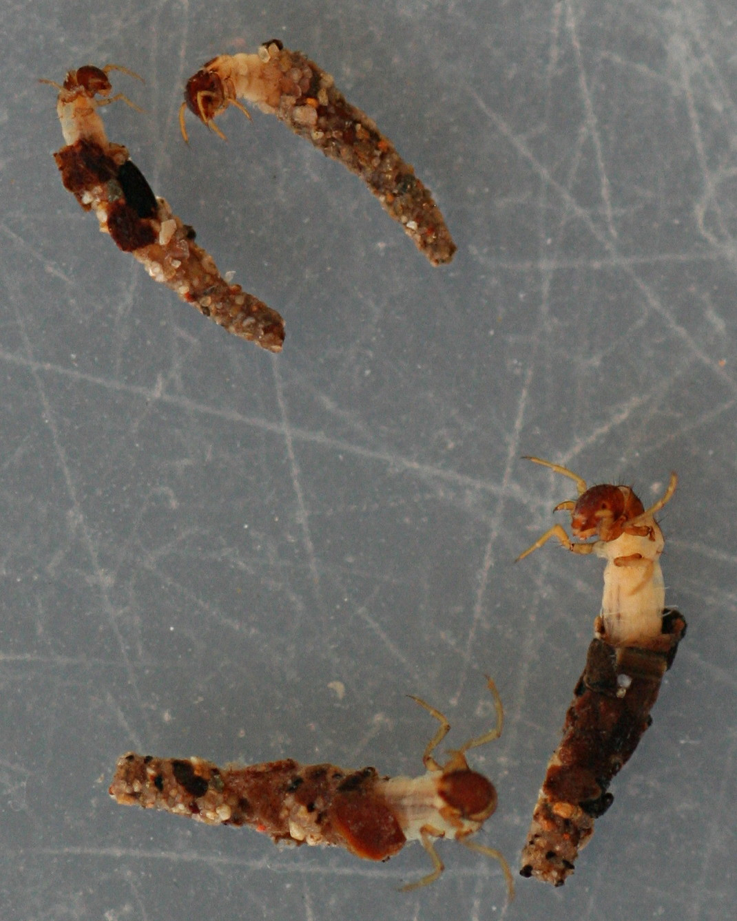 Early instars, panel case, 4-6 mm larvae and cases.