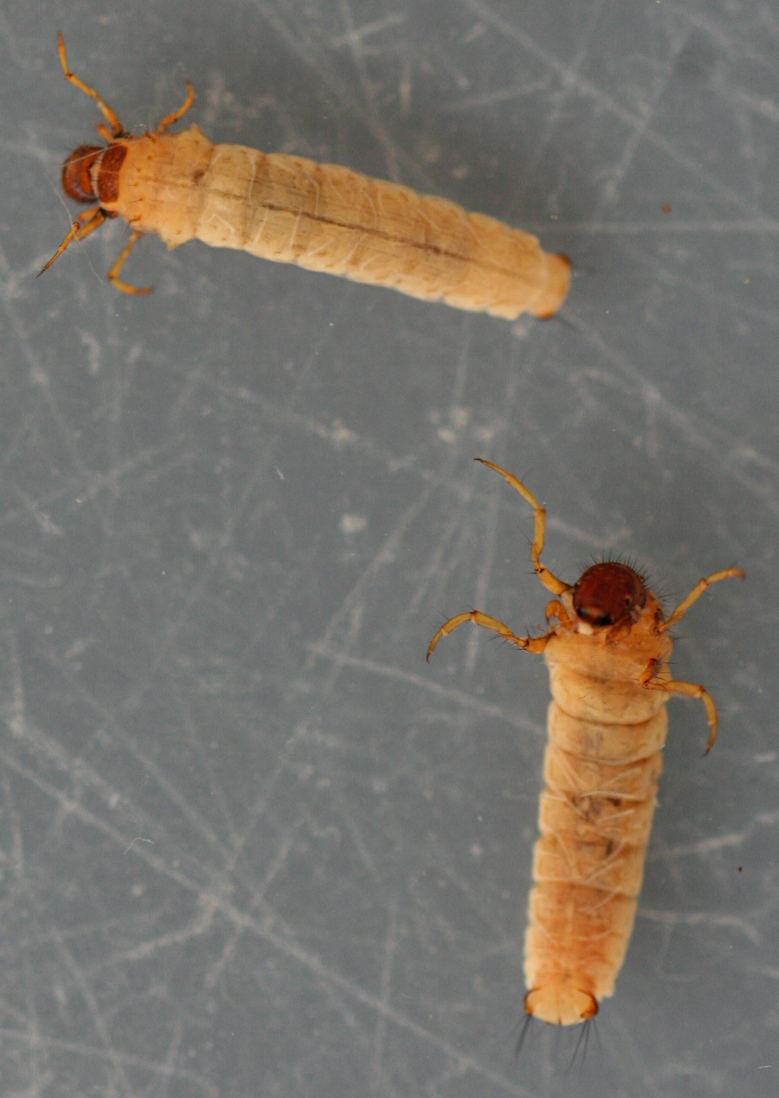 Panel case larvae. 11 mm