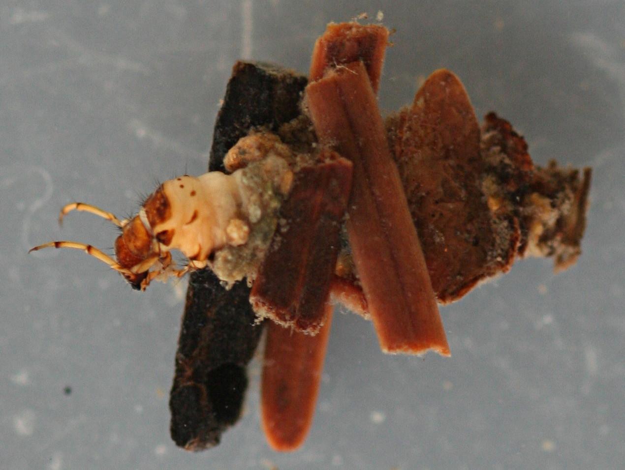 Turret case 8 mm. Larva 7mm.