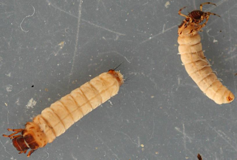 Larvae 7 mm.
