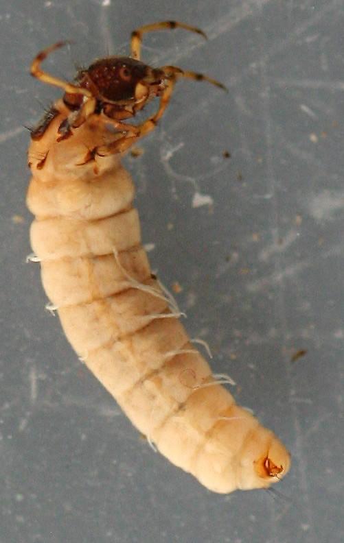 Larva 7 mm.