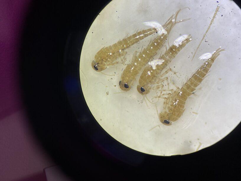 Baetidae #2