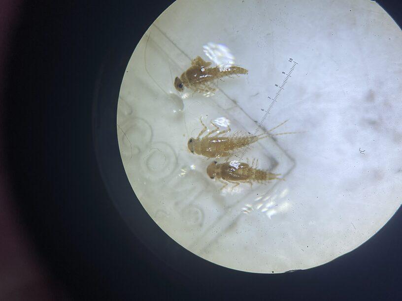 Baetidae #6