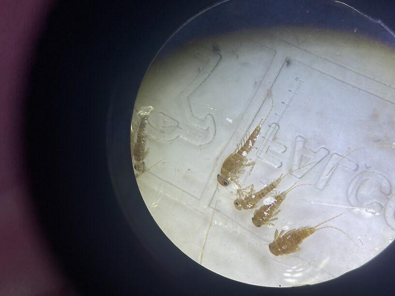 Baetidae #7