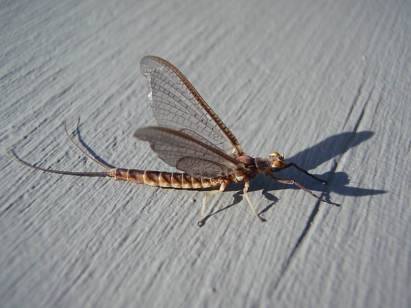 Name this mayfly
