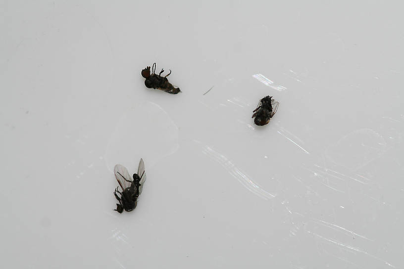 These were quite numerous in and on the film when I was looking for tricos - they are about the same size.  Are these the little black flies that bite you?