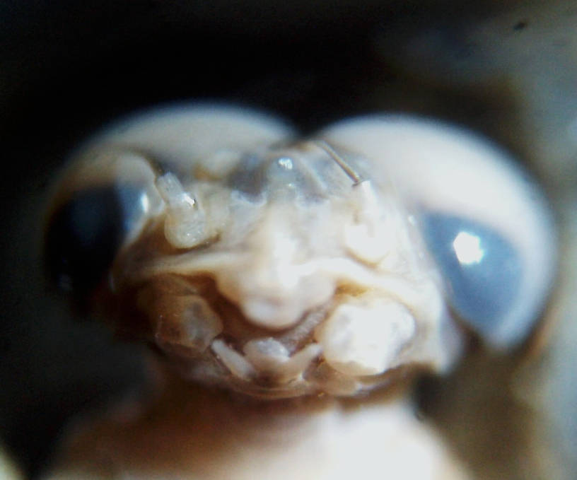 adult ventral head