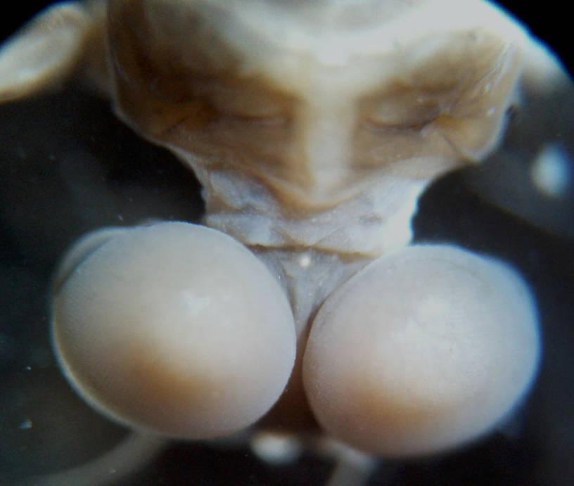 dorsal head