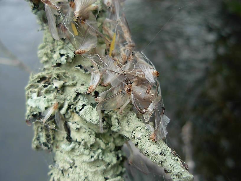 Ephoron luekon caught in spider's web on a branch.