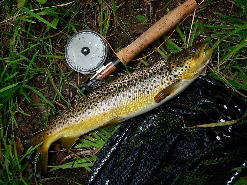 "A 17"" brown trout who ate my wet fly imitation, early morning. (He was released right after photo.)"