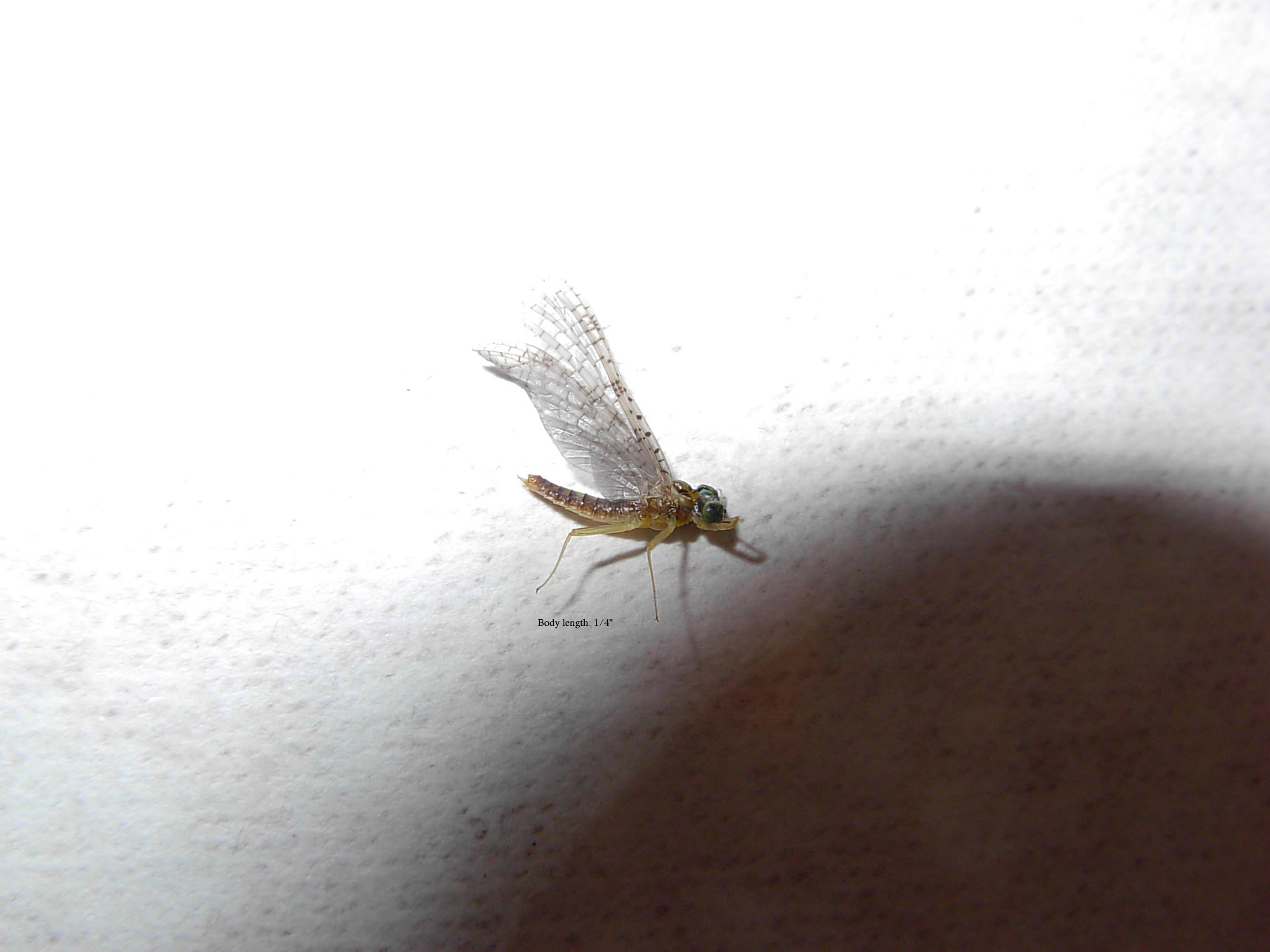 Small green-eye mayfly dun.
