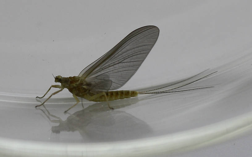 Body length (excluding tail) is 10 mm.