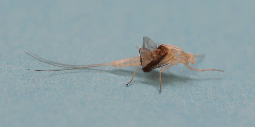 The coloration of the dun's wings gets left behind in its exuvia.
