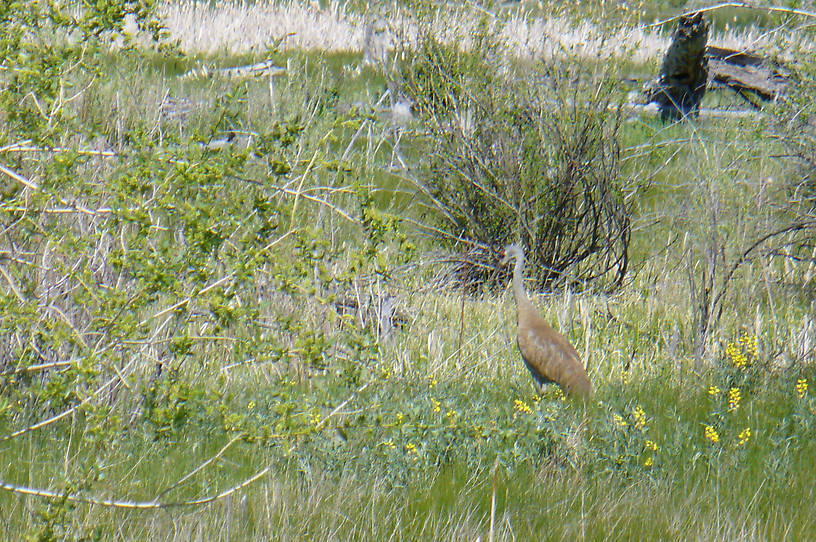 Sand Hill Crane along the Beaverhead near Henneberry Access
