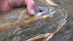 Elk River British Columbia Rising Cutthroat Trout August 2018 (by Srfwl in Fishing Reports)