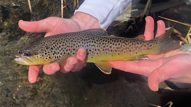 Personal-best small stream brown