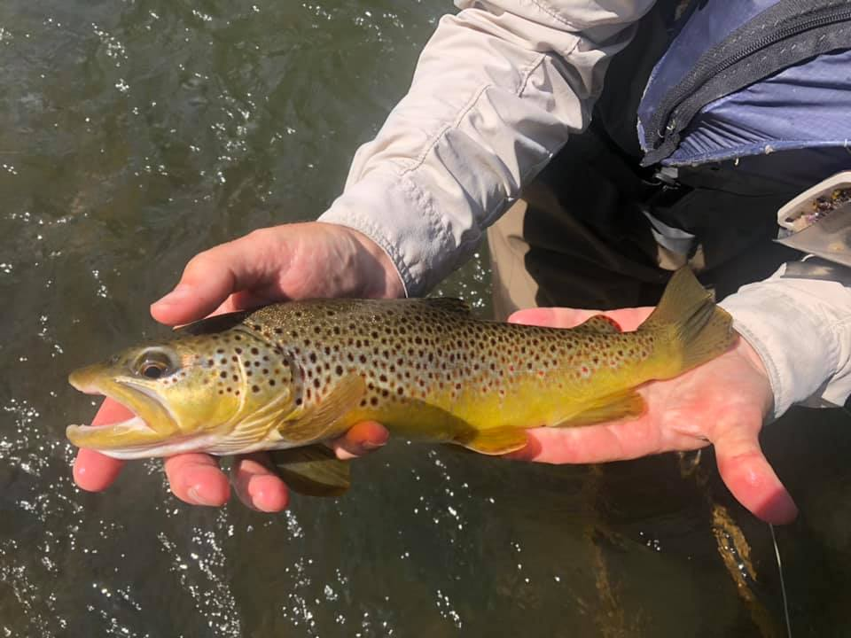 Pretty brown Marv caught nymphing