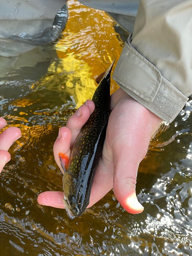 """So many brook trout - this one was one of the """"monsters"""" compared to the rest"""