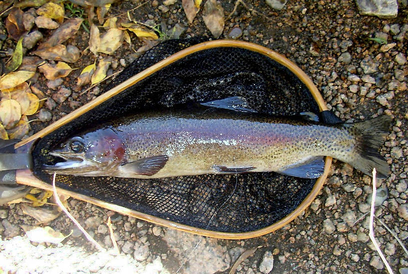 """17"""" Rainbow this one was cool check out the hook jaw"""