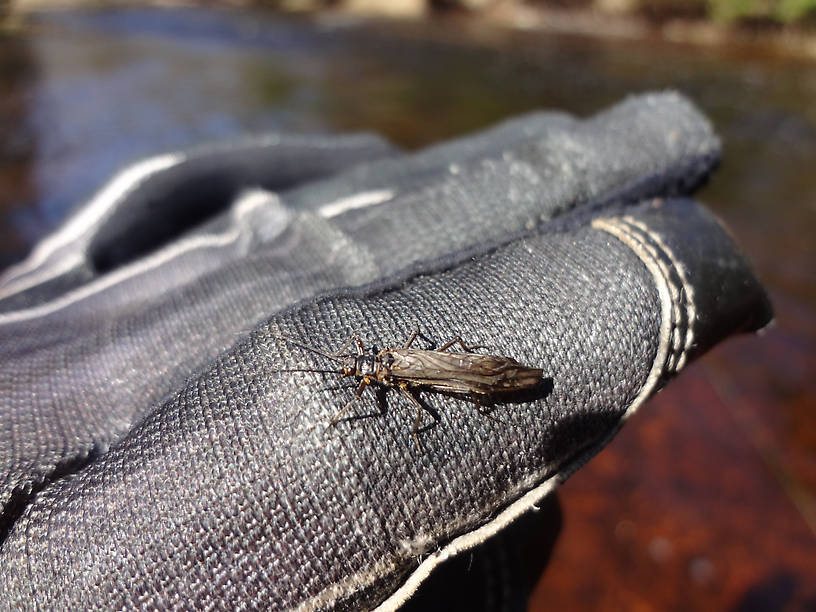 This stonefly hatch was incredible, they were dropping on the water everywhere!