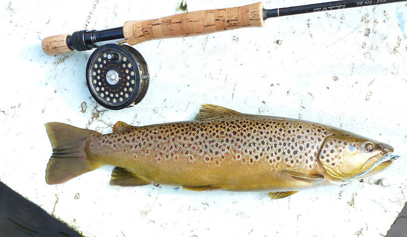 "Last brown of the 2013 trout season - the picture makes the fish look small but it was a very thick and robust brown about 19"" long."