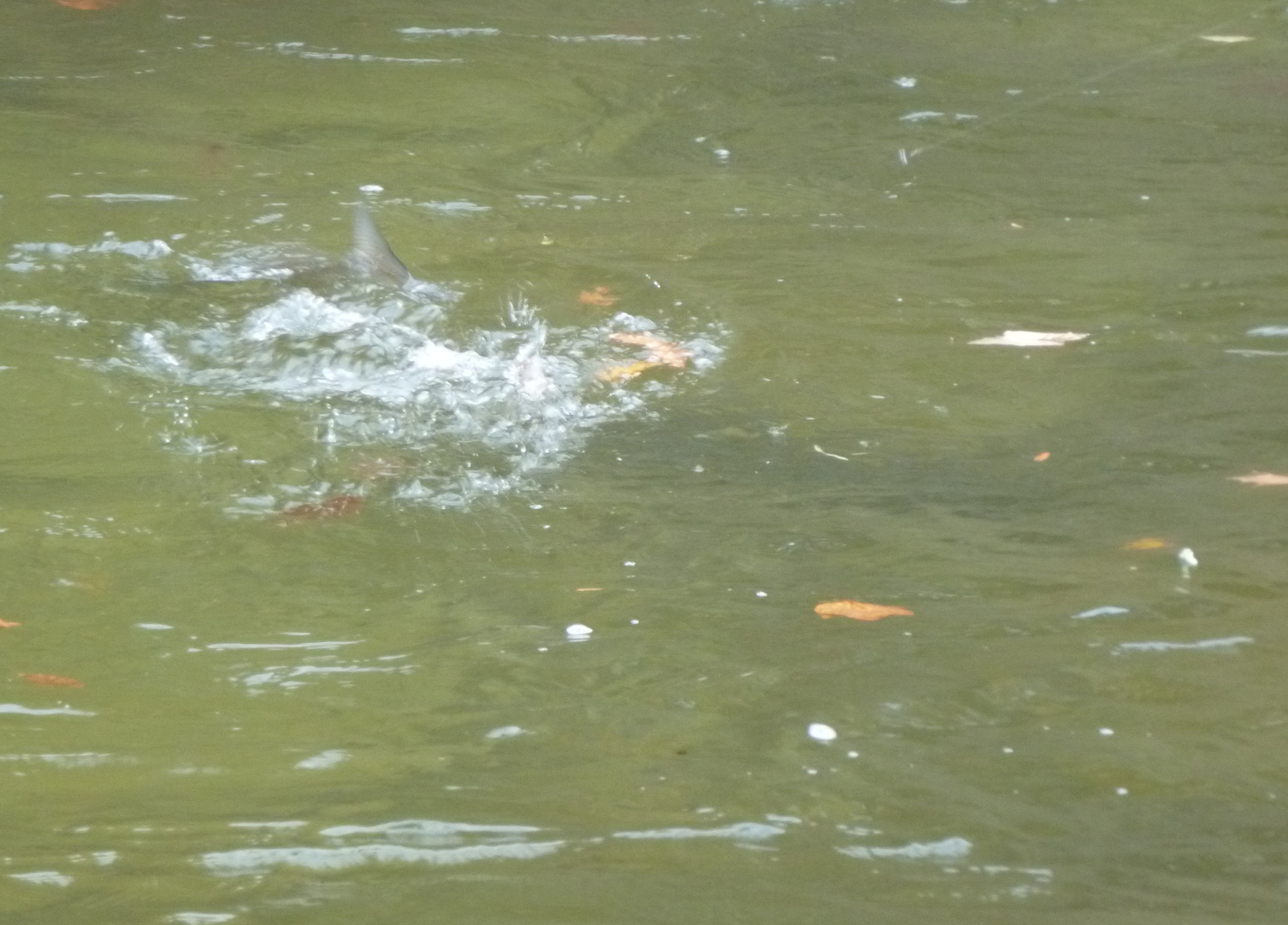 Great shot of a steelhead throwing water and flicking it's tail!