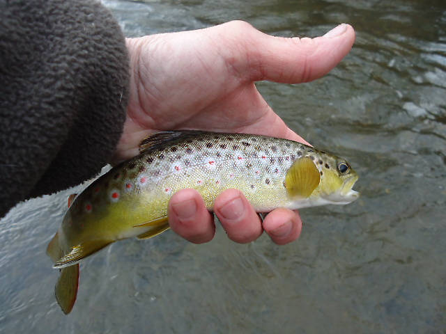 Average Brown Trout