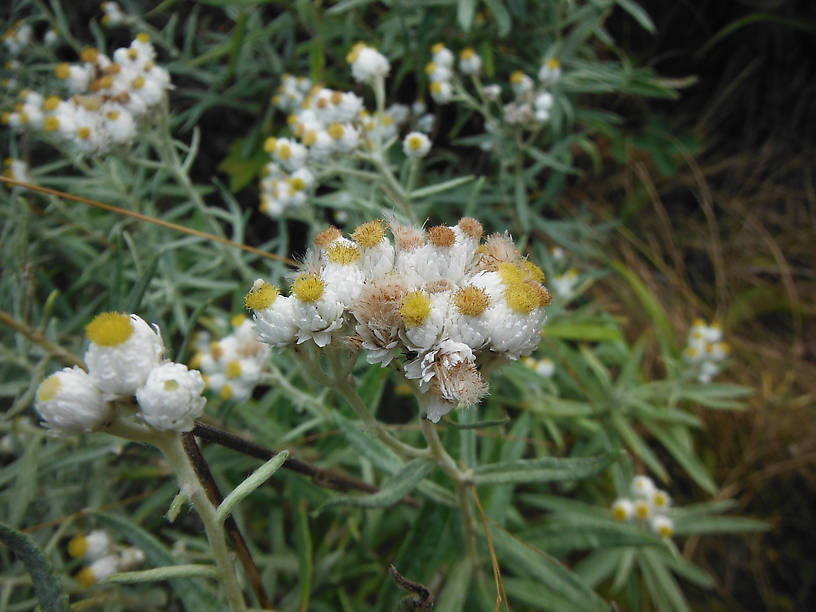 Pearly everlasting (Anaphalis margaritacea) - blooming all along the hiking trails