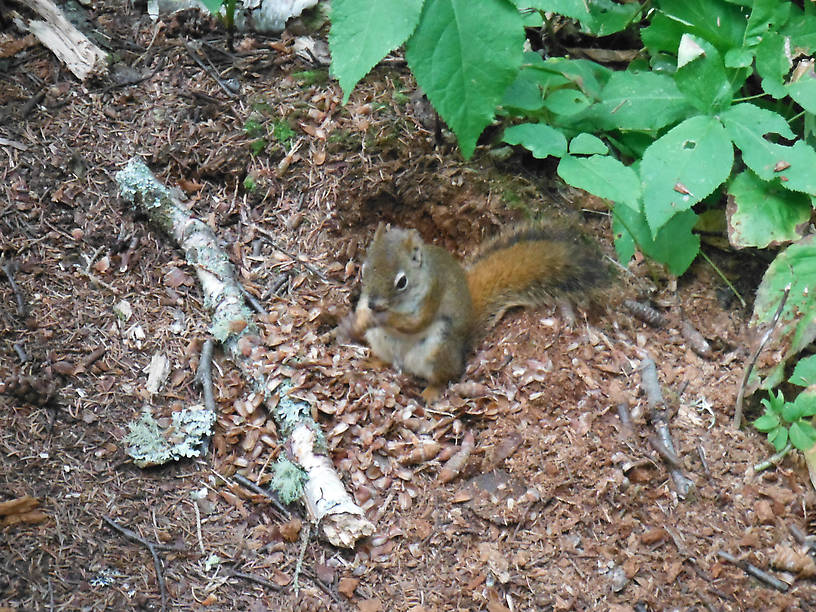 Very friendly red squirrel!  I wondered if the wildlife was on the National Park payroll...
