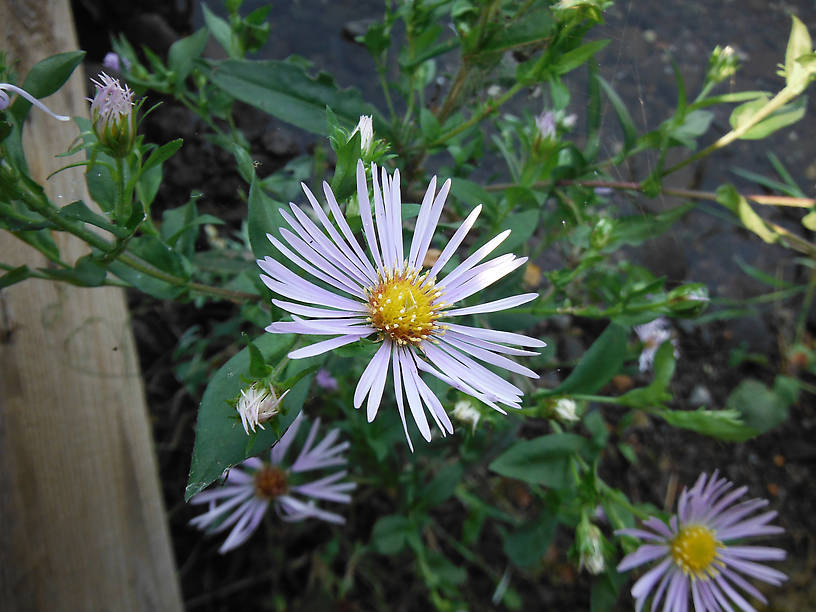 Aster blooming by the seaplane dock at Todd Harbor