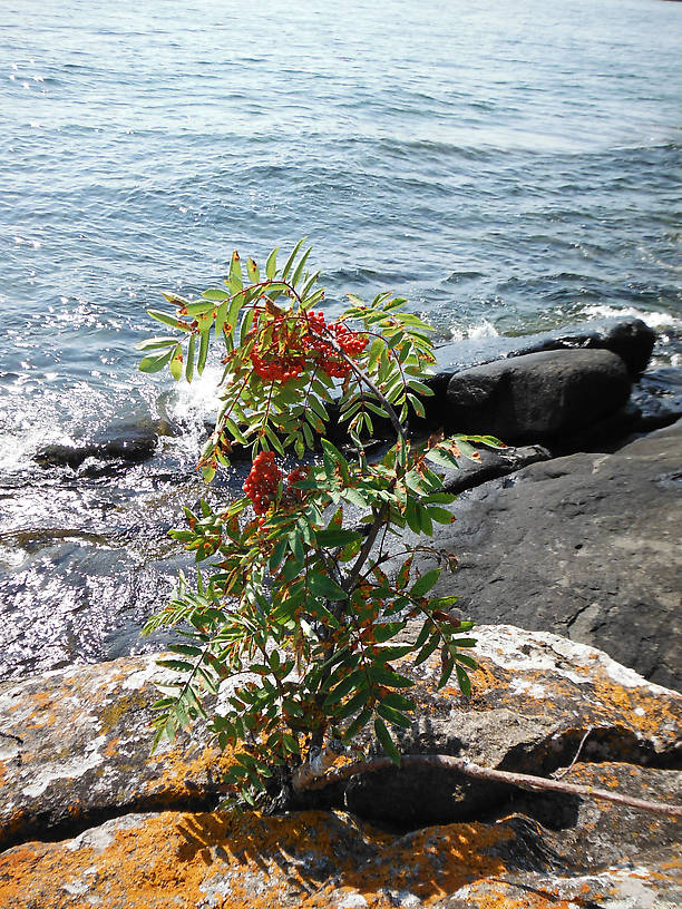 A mountain ash (Sorbus americana or decora) living on the edge (of Lake Superior)!