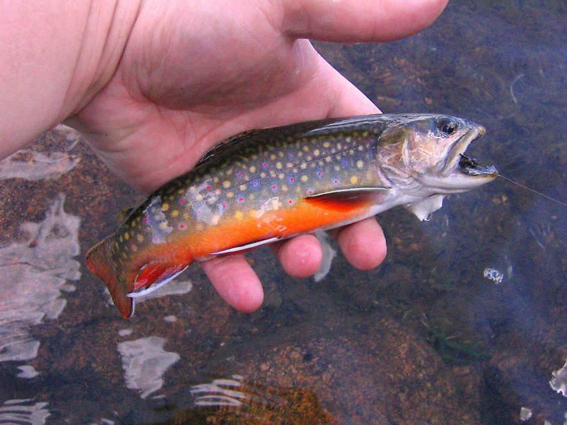 And a right purdy brookie from an alpine lake off of the Beartooth Highway.  We call them blonde trout at this one spot...pretty and dumb.  (No angry emails please!)  They'll hit anything!