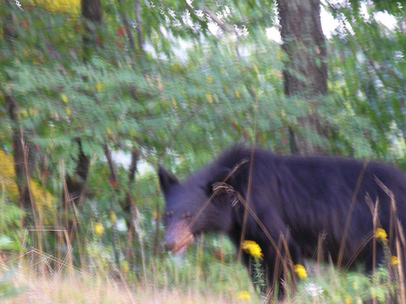 ...and here's bear #2, in Shenandoah National Park on Saturday.  I wonder why bear photos always appear...shaky?