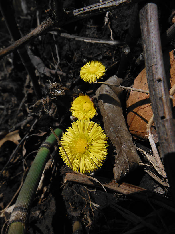 OMG, there's something BLOOMING!  (Coltsfoot, Tussilago farfara)