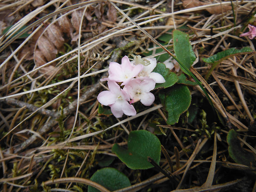 Trailing arbutus, a beautiful and fragrant wildflower
