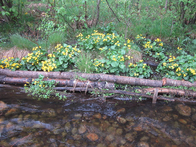 Spencer's favorite blossom the Marsh Marigold.