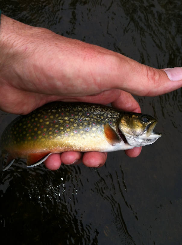 A small North Branch Brookie