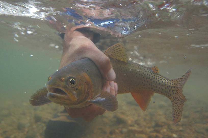 �2004 Mike Speer  Underwater Cutthroat caught at Boxwood Gulch Ranch, on the north fork of the South Platte river near Bailey, Colorado. An Ex-streamly clear tail water, great for sub-surface photography. .