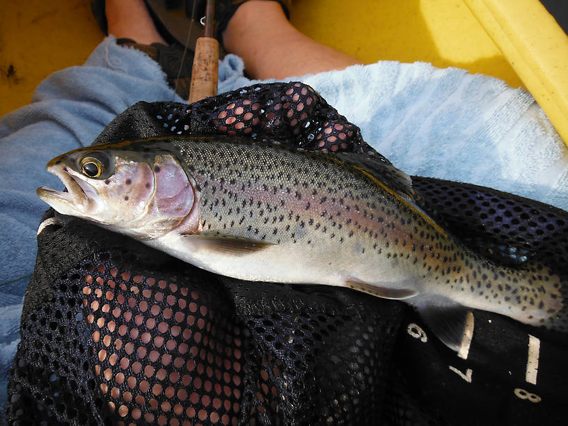 """Nice stocker rainbow (12"""") at Reid Lake - biggest one I've caught here so far and 12"""" is the legal limit.  This one came home and was delicious with lemon and butter!  And had a big leaf-footed bug and parts of a bald-faced hornet in it's stomach."""