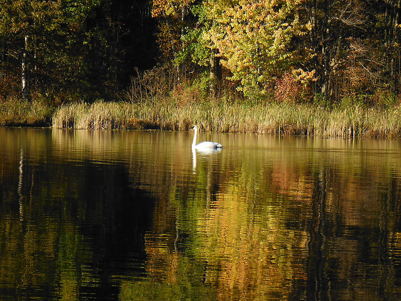 Male trumpeter swan...came out of a nearby swamp and honked gently at me...