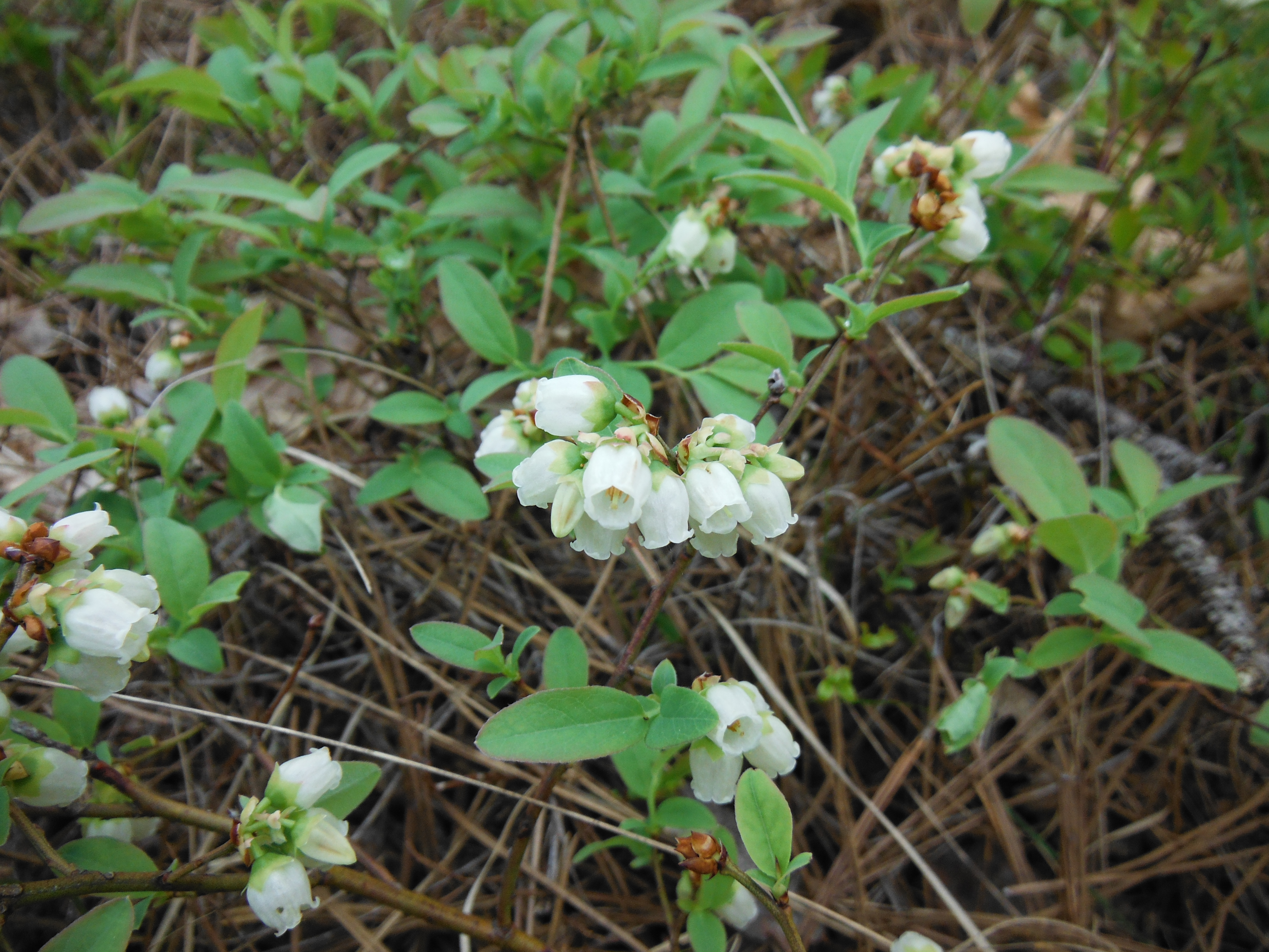 Blueberries flowering nicely - this is a good spot later in summer!