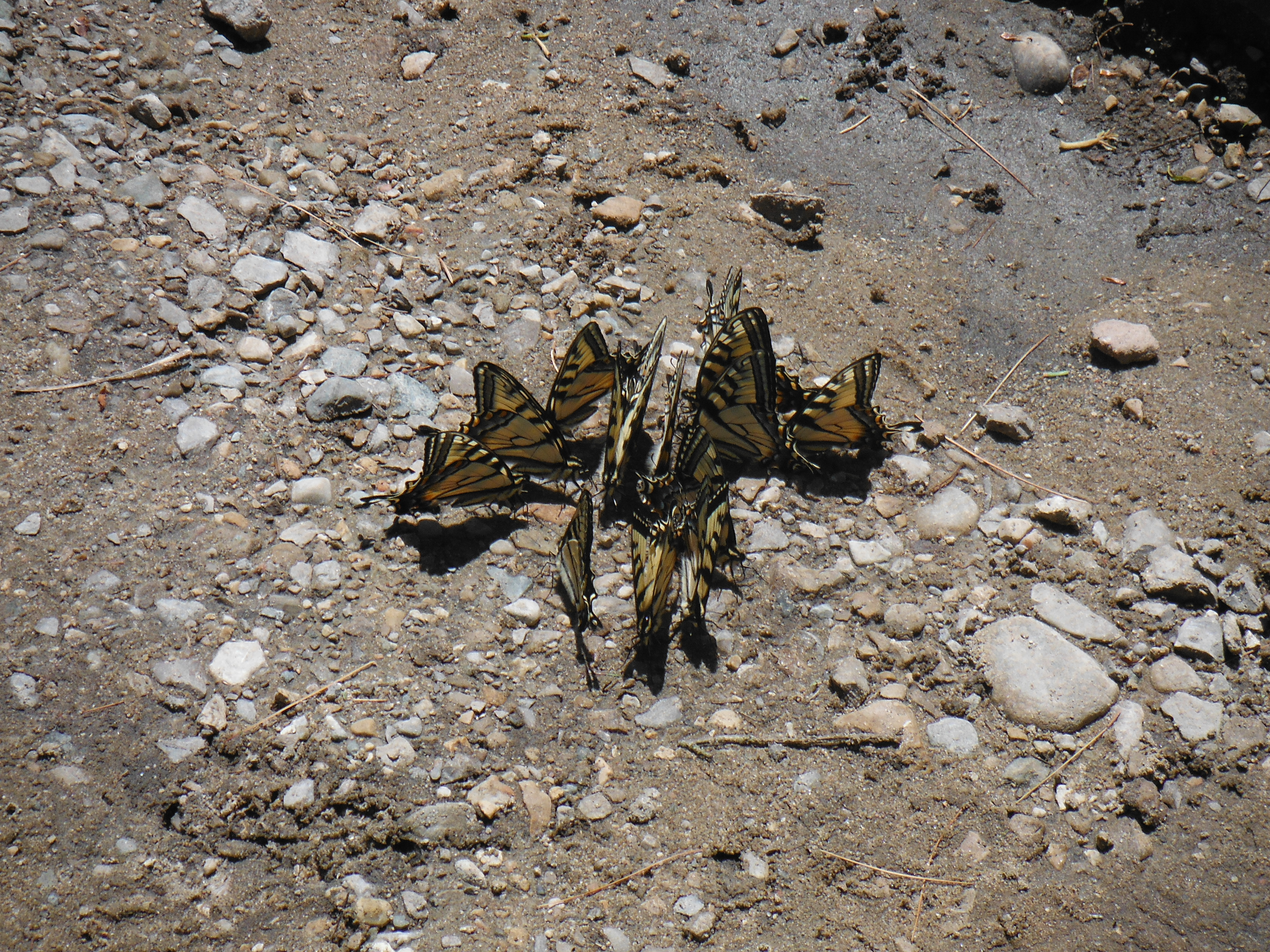 Tiger swallowtails gathering to sip from mud on the bank of the Rifle