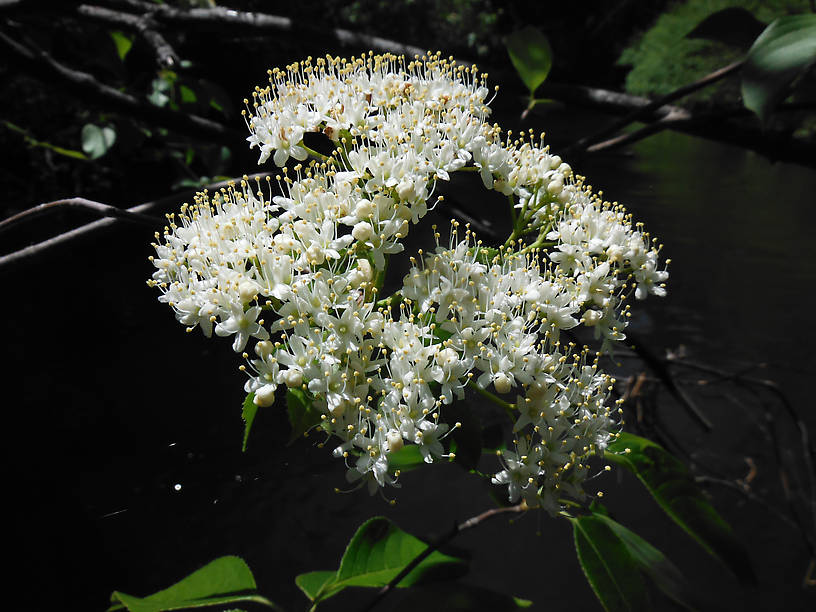Nannyberry (Viburnum lentago) blooming on the bank